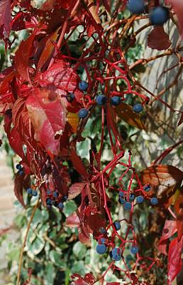 Photograph - Red Ivy With Berries by Dorothy Berry-Lound