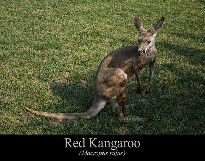 Digital Art - Red Kangaroo by Chris Flees