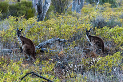 Red Kangaroo Macropus Rufus Art Print by Panoramic Images