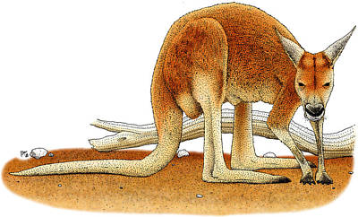 Kangaroo Photograph - Red Kangaroo by Roger Hall