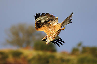 Photograph - Red Kite Diving by Grant Glendinning