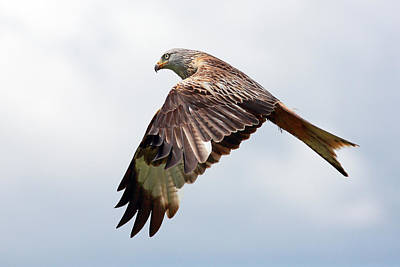 Photograph - Red Kite Flight by Grant Glendinning