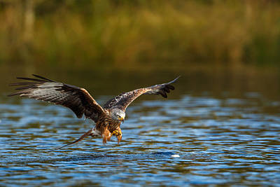 Red Kite Swooping Over Water Art Print