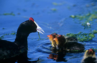 Coot Wall Art - Photograph - Red-knobbed Coot And Chicks by Tony Camacho/science Photo Library