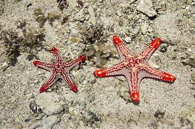 Red-knobbed Starfish Art Print by Tony Camacho