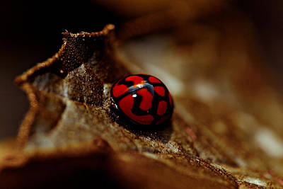 Red Lady Bug Art Print by Isabel Laurent