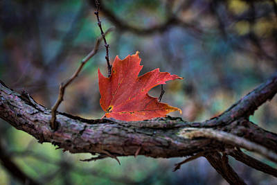 Photograph - Red Leaf Landed by Bill Pevlor