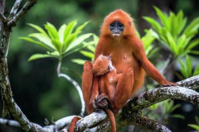 Red Monkey Photograph - Red Leaf Monkey Suckling by Paul Williams