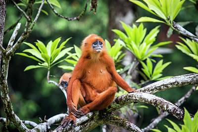 Red Monkey Photograph - Red Leaf Monkeys by Paul Williams
