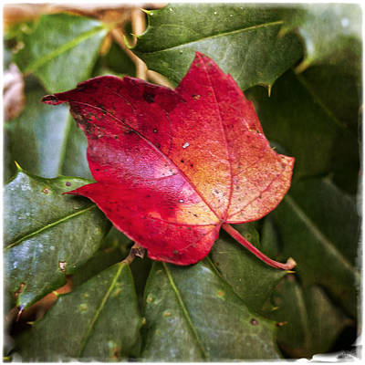 Photograph - Red Leaf On Holly by Frank Winters
