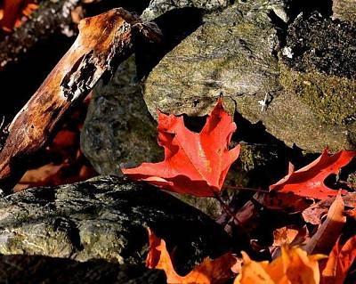 Photograph - Red Leaf On Rock Wall by Michael Saunders