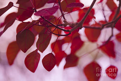 With Red Photograph - Red Leaves - Euphorbia Cotinifolia - Tropical Smoke Bush by Sharon Mau