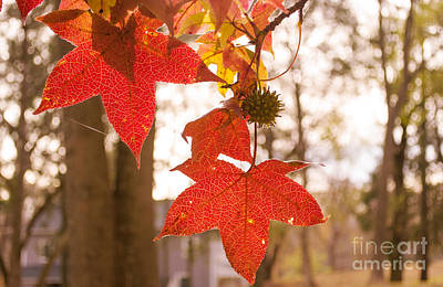 Photograph - Red Leaves by Rima Biswas