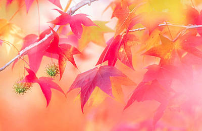 Focus On Foreground Photograph - Red Leaves With Backlit, Autumn by Panoramic Images