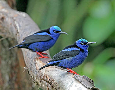 Photograph - Red-legged Honeycreepers by Peggy Collins