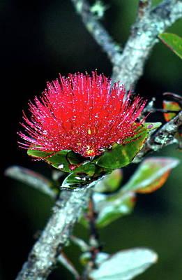 Photograph - Red Lehua  Kawaiko'olihilihiokalikolehua by Lehua Pekelo-Stearns