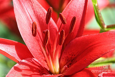Photograph - Red Lil by Susan Herber