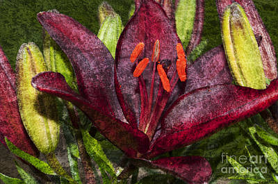 Outerspace Patenets Rights Managed Images - Red Lily 1 Royalty-Free Image by Steve Purnell