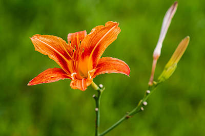 Floral Loveliness Photograph - Red Lily - Featured 3 by Alexander Senin