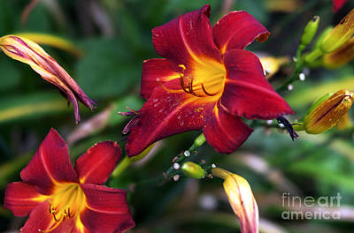 Photograph - Red Lily Flower by John Rizzuto
