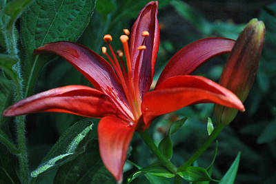 Art Print featuring the photograph Red Lily by Kelly Nowak