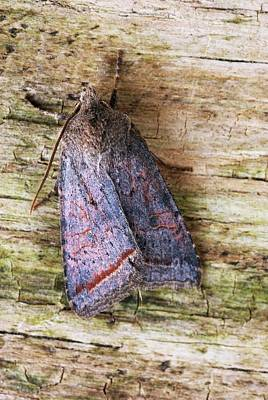 Quaker Photograph - Red Line Quaker Moth by David Aubrey