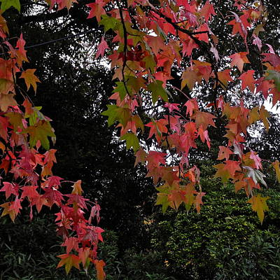 Photograph - Red Liquidambar Leaves  by Kirsten Giving