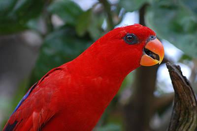 Photograph - Red Lorikeet by Larah McElroy