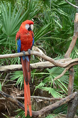 Photograph - Red Macaw by Michael Gooch