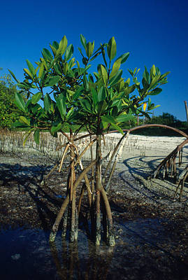 Photograph - Red Mangroves by Nancy Sefton