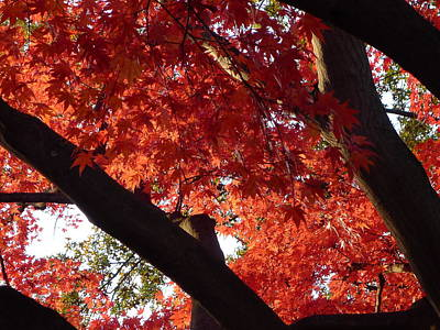 Photograph - Red Maple 02 by Richard Reeve