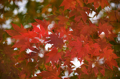 Photograph - Red Maple-1 by Minartesia