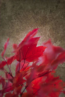 Photograph - Red Maple Dreams by Jeff Folger