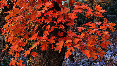 Photograph - Red Maple Foliage by Judy Vincent