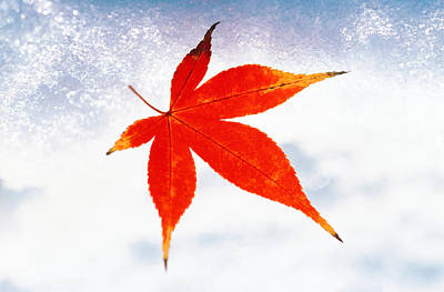 Red Maple Leaf Against White Background Art Print by Panoramic Images