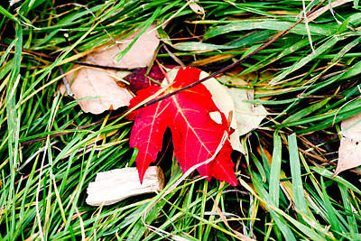 Photograph - Red Maple Leaf by Allan Millora