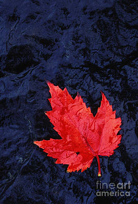 Red Maple Leaf And Black Stone - Fs000222 Art Print by Daniel Dempster