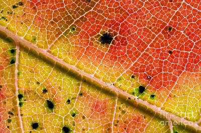 Photograph - Red Maple Leaf by Gregory G. Dimijian, M.D.