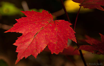 Photograph - Red Maple Leaf In Fall by Brenda Jacobs