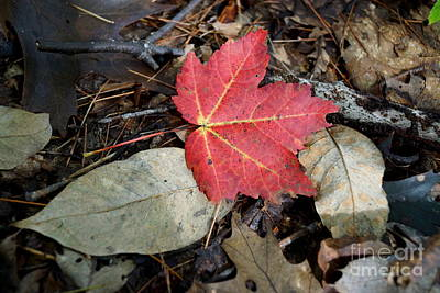 Photograph - Red Maple Leaf by Kerri Mortenson