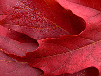 Red Maple Leaves Art Print by Jennie Marie Schell
