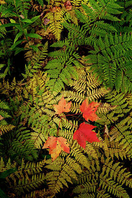 Forest Floor Photograph - Red Maple Leaves On Ferns, Hiawatha by Adam Jones