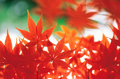 Focus On Foreground Photograph - Red Maple Leaves by Panoramic Images
