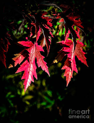 Photograph - Red Maple Leaves by Robert Bales