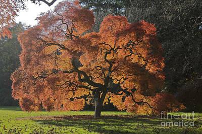 Red Maple Art Print by Linda Asparro