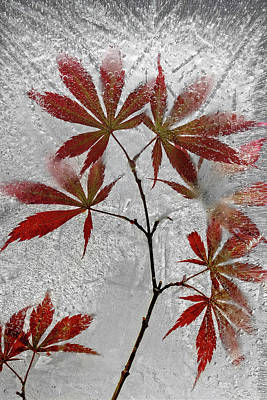 Frost Photograph - Red Maple by Secundino Losada