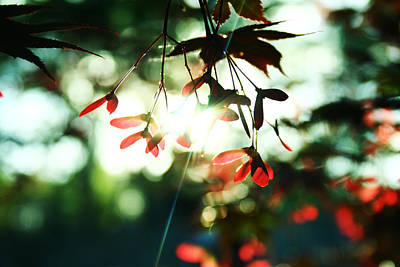Photograph - Red Maple Tree by Adam LeCroy
