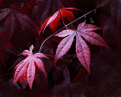 Photograph - Red Maple Trio by Carolyn Jacob