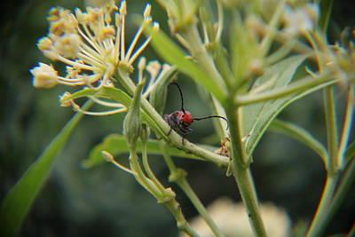 Red Milkweed Beetle Photograph - Red Milkweed Beetle 1 by Adam Kimpton