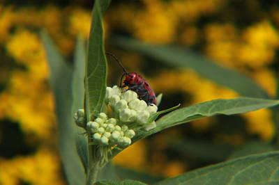 Red Milkweed Beetle Photograph - Red Milkweed Beetle 2 by Adam Kimpton